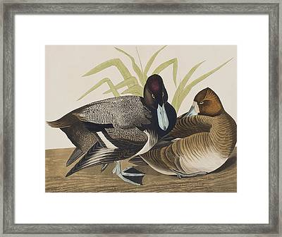 Scaup Duck Framed Print by John James Audubon