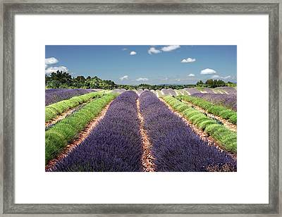 Scent Of Lavender Of Provence Framed Print by Any.colour.you.like Photography