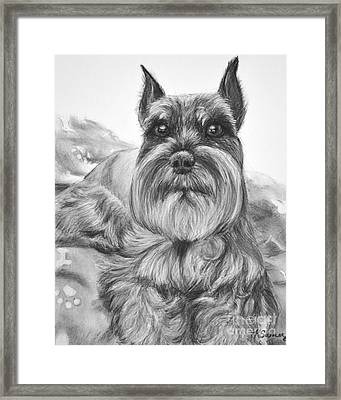 Schnauzer Drawing Bailey Framed Print by Kate Sumners