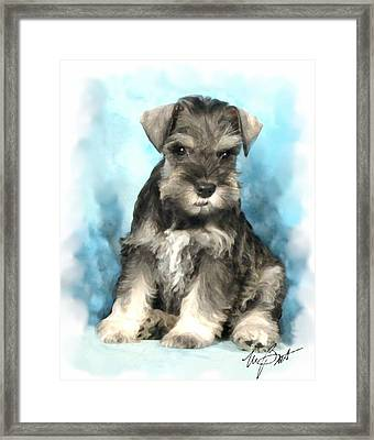 Schnauzer Pup Framed Print by Maxine Bochnia