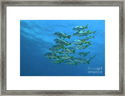 School Of Yellowtail Grunt Underwater Framed Print by Sami Sarkis