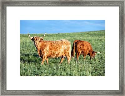 Scottish Highland Cattle Framed Print by Todd Klassy