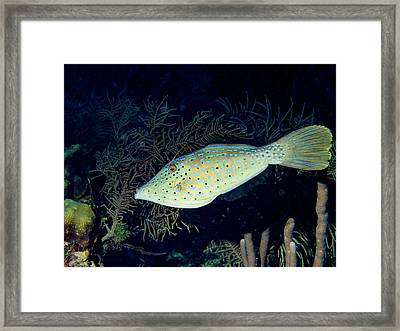 Scrawled Filefish Framed Print by Jean Noren