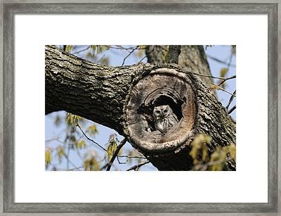Screech Owl In A Tree Hollow Framed Print by Darlyne A. Murawski