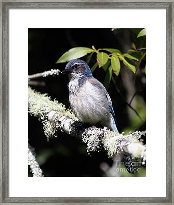 Scrub Jay . 7d6663 Framed Print by Wingsdomain Art and Photography