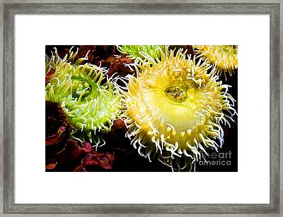 Sea Anemony Dance Framed Print by Sherry  Curry