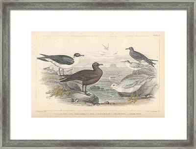 Sea Gulls Framed Print by Oliver Goldsmith