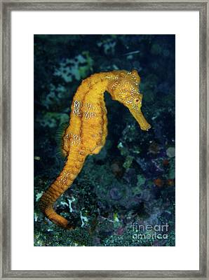 Sea Horse Underwater View Framed Print by Sami Sarkis