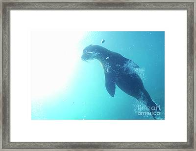 Sea Lion Swimming Underwater  Framed Print by Sami Sarkis