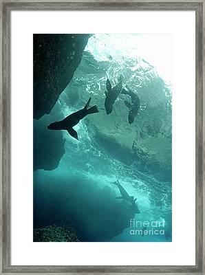 Sea Lions Framed Print by Sami Sarkis