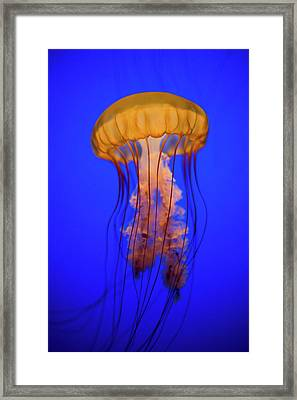 Sea Nettle Jellyfish (chrysaora Quinquecirrha) In An Aquarium Framed Print by Patrick Strattner