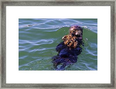 Sea Otter With Lunch Framed Print by Randy Bayne