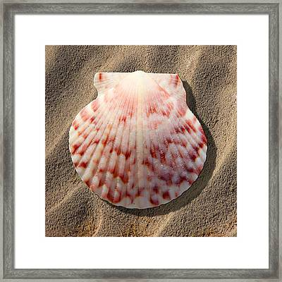 Sea Shell Framed Print by Mike McGlothlen