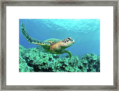 Sea Turtle In Coral, Hawaii Framed Print by M Sweet