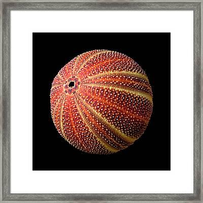 Sea Urchin 2 Framed Print by Jim Hughes
