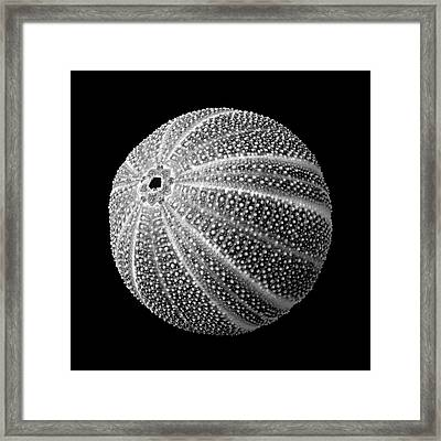 Sea Urchin 3 Framed Print by Jim Hughes