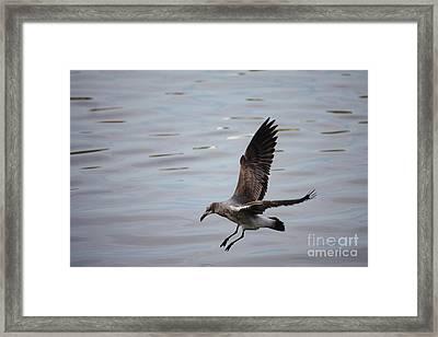 Seagull Landing Framed Print by Carol Groenen