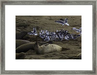 Seagulls And Elephant Seals Framed Print by Garry Gay