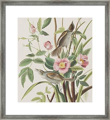 Seaside Finch Framed Print by John James Audubon