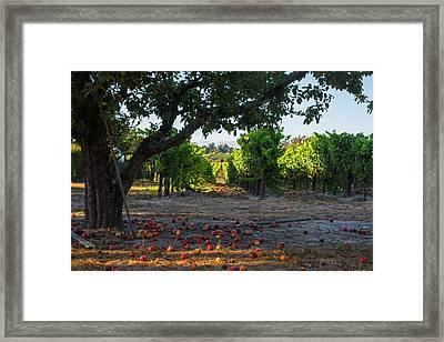 Sebastopol Tree And Vineyard Sebastopol Ca Framed Print by Toby McGuire