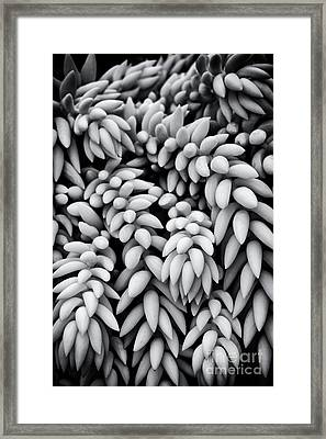 Sedum Morganianum Abstract Framed Print by Tim Gainey