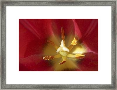 Sego Lily Stamen Framed Print by Charles Haire