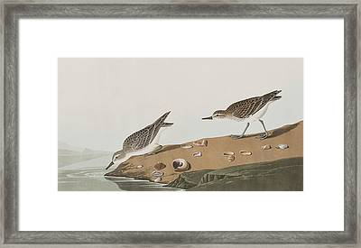 Semipalmated Sandpiper Framed Print by John James Audubon