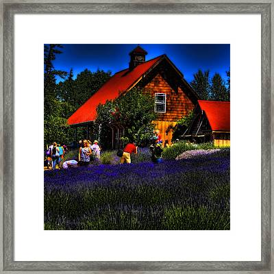 Sequim Lavender Framed Print by David Patterson