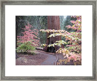 Sequoia  Trees 3 Framed Print by Naxart Studio