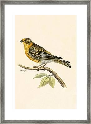 Serin Finch Framed Print by English School