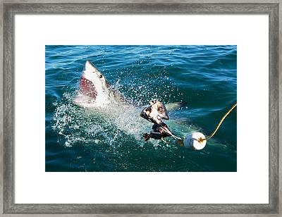 Shark Attack Framed Print by Andrea Cavallini