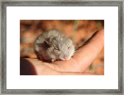 Shark Bay Mouse Framed Print by Tony Brown