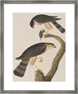 Sharp-shinned Hawk Framed Print by John James Audubon