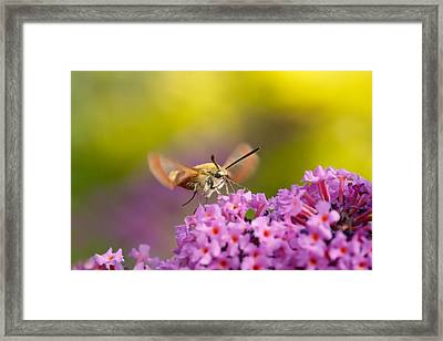 Like A Rainbow - Broad Bordered Bee Hawk-moth Framed Print by Roeselien Raimond