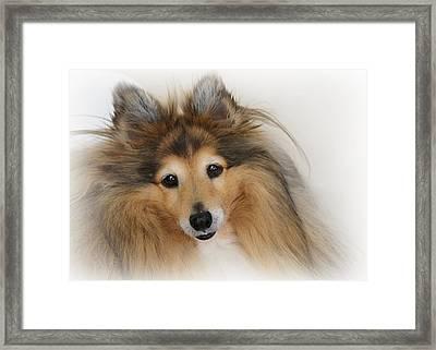 Sheltie Dog - A Sweet-natured Smart Pet Framed Print by Christine Till