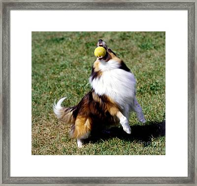 Shetland Sheepdog And Ball Framed Print by Jeanne White