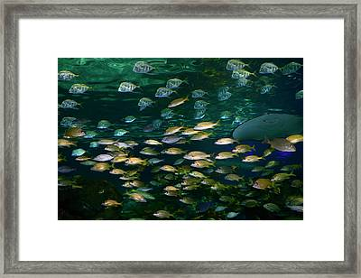 Shoals Of French Grunt And Bluestripe Snappers With Silver Lookd Framed Print by Reimar Gaertner