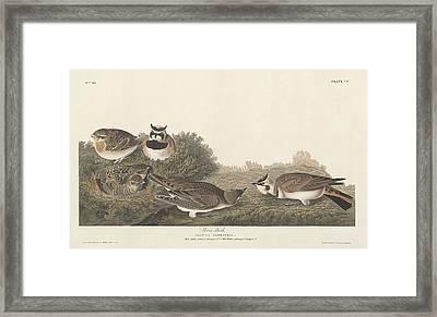 Shore Lark Framed Print by John James Audubon