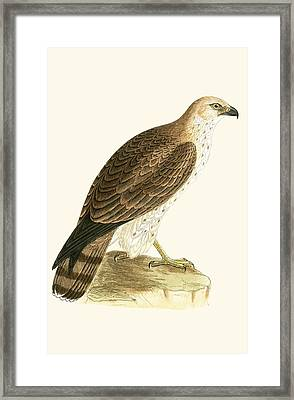 Short Toed Eagle Framed Print by English School
