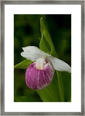 Showy Lady's Slipper Framed Print by Sharon Goldsboro