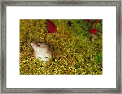 Shrew Pokes Head Out Of Tundra Framed Print by Michael S. Quinton