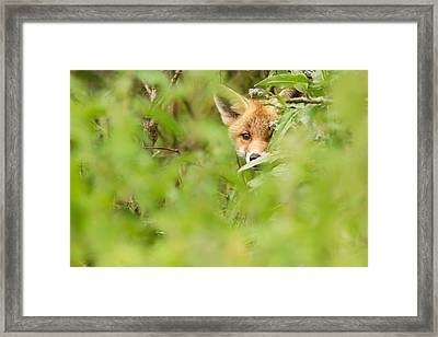 Shyfox Framed Print by Roeselien Raimond