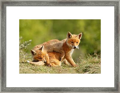 Sibbling Love - Playing Fox Cubs Framed Print by Roeselien Raimond