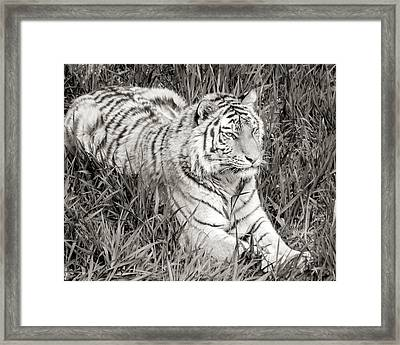 Siberian Tiger In Grass Framed Print by Jim Hughes