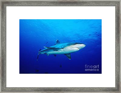 Silvertip Shark In Thailand Framed Print by Dave Fleetham - Printscapes