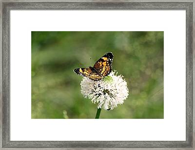 Silvery Checkerspot Butterfly On Wildflower Framed Print by Sheila Brown