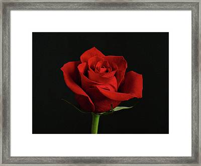 Simply Red Rose Framed Print by Sandy Keeton