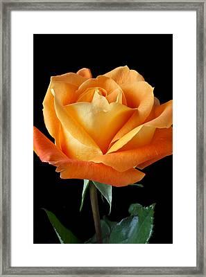 Single Orange Rose Framed Print by Garry Gay