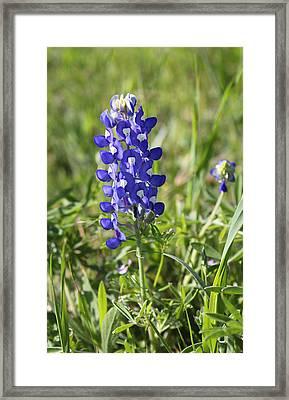 Single Texas Blue Bonnet Framed Print by Linda Phelps