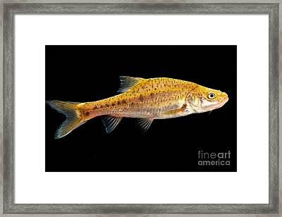 Sinocyclocheilus Sp Framed Print by Dant� Fenolio
